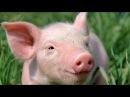 Почему нельзя есть свинину в исламе и христианстве ? ФАКТЫ НАУКИ