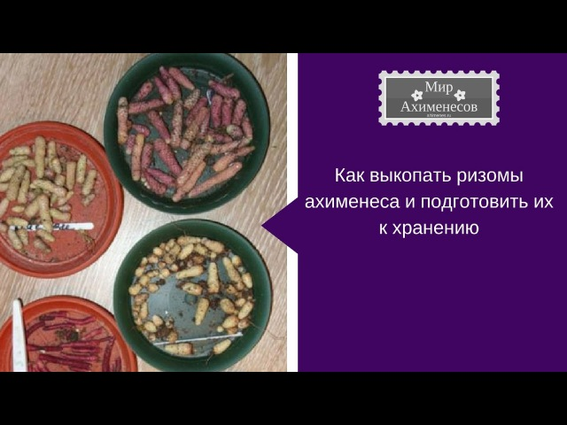 Ахименес: как выкопать ризомы и подготовить к хранению