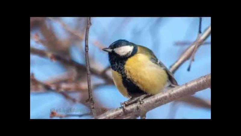 Голоса Птиц Большая Синица