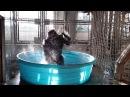 Gorilla Flashdance in Pool