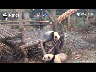 Падения маленьких панд