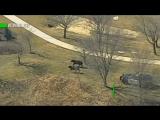 Погоня полиции за сбежавшим стадом коров