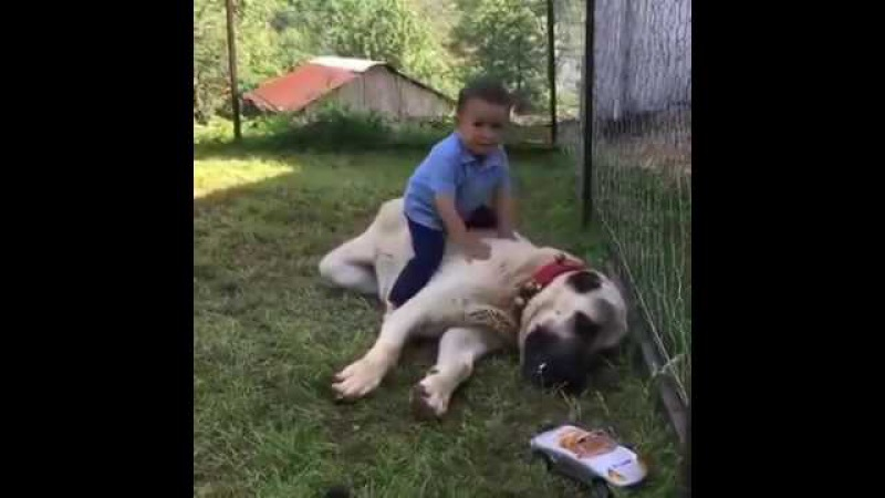 The giant Kangal dog is tame as a lamb against the child