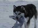 Про любовь и преданность собак из фильма белый плен