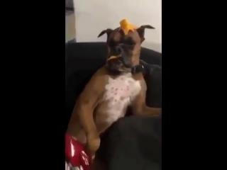 Собака участвует в Mannequin Challenge