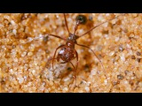 Antlion Cone Death Trap - The Hunt - BBC Earth