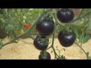 Выращивание томата Индиго Роуз без пасынкования