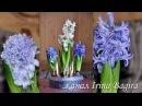Обзор посадок луковичных цветов на выгонку ✿ мой алоэ вера ✿ aloe vera