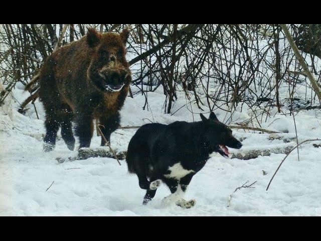 Охота на КАБАНА вместе с собаками. Лайки авантажно поработали вместе с кабаном на охоте