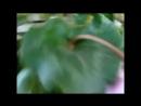 ЦИКЛАМЕН (Cyclamen) Желтые листья у цикламенов. Возможные причины пожелтения.mp4