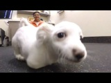 Scooter the two legged dog learns to walk - Fox News Channel