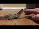 Hes not havin it tonight - Baby Crocodile Likes to be Pet