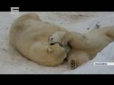 У белых медведей Авроры и Феликса начались брачные игры