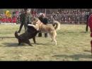 Тибетский мастиф VS волкодав Собачьи бои