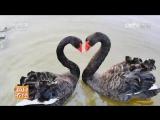 Чёрный Лебедь Чжэсе Хэй Тианэ. Они благородны и романтичны Гаогуй Эр Ланмань, элегантны и таинственны Юя Ю Шэньми...