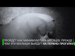 Белая медведица укладывает спать медвежат-близнецов