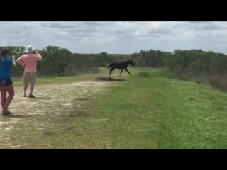 Храбрый конь против аллигатора