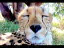 15 Minute Cheetah Cuddling Purring Day Night Relaxing ASMR Sound Anatomy of Big Cats Purr