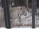 Тигр альбинос рычит и ходит