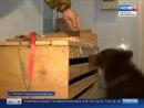 Из Иркутска в Рапполово приехала на реабилитацию медведица, пострадавшая от браконьеров