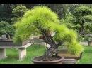 Как вырастить сосну бонсай из семян №7