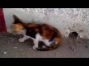 Алжирские кошки 2. Algerian cat. Chat Algerien