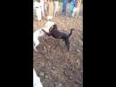 Gull terr vs pitbull Собачьи бои гулл терр питбуль