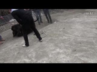 Собачьи бои 18+ Ротвейлер vs Кане корсо