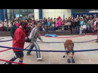Бокс жонглеры против кенгуру