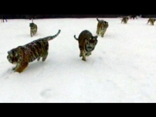 Амурские тигры разбили квадрокоптер