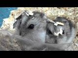 Хомяк Джунгарский (Джунгарик). Jungar hamster
