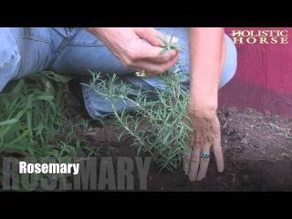 Herbs n' Pastures: Rosemary