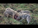 THE TOP 10 TOP 10 WOLF ATTACKS Wolf vs Coyote Bear Buffalo Moose Deer Wild Boar