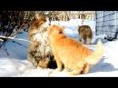 Siberian farm cats, Koshlandia, 2016, Людвиг против Лапыча, Ириска и ВАся