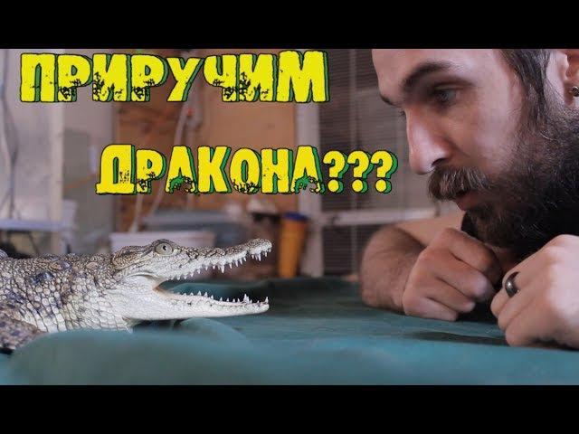 ПРИРУЧИМ ДРАКОНА ДРЕССИРУЕМ КРОКОДИЛА! Коррекция поведения крокодила в домашних условиях!