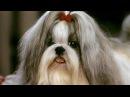 Породы собак. Шицу (щи-цу, ши-тцу, ши-цзу)