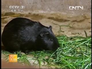 Свинки морские чёрные ''Хэй Туньшу'', или ''Шу Ханьхао'', или чёрное свиноводство ''Хэй Тунь Янчжи'' - технология выращивания г