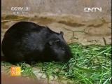 Свинки морские чёрные Хэй Туньшу, или Шу Ханьхао, или чёрное свиноводство Хэй Тунь Янчжи -  технология выращивания г