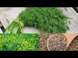 Укроп, семена укропа - лечебные свойства