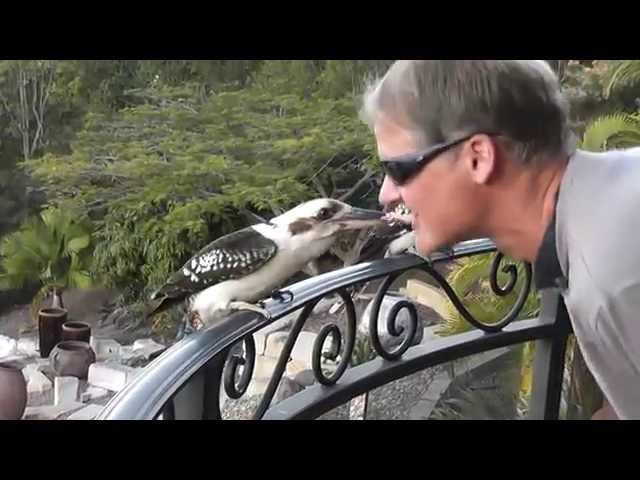 Kookaburra rips tongue from mans mouth... or not.