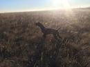 21 Ходовая Охота Осенью в Поле. Охота на Степную и Полевую Дичь с Легавой Собакой