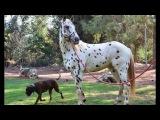 so music city KING Appaloosa stallion
