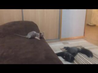 Бурый лис против кошки