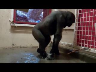 Break Dancing Gorilla at the Calgary Zoo