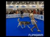 World dog show 2016 Husky Haven Night Fire