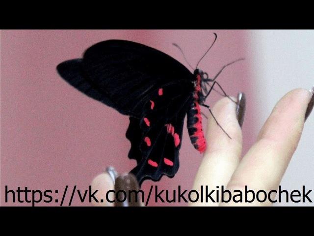 Рождение бабочки Парусник Кочубей
