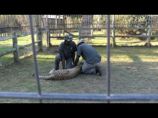 Гепард атаковал гиданегра (Cheetah Attacks Guide in South Africa)