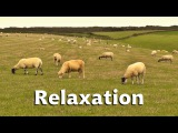 Nature and Bird Sounds Relaxation - Relaxing One Hour of Sheep and Birdsong