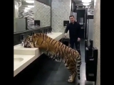 Tiger drinking water from the toilet tap