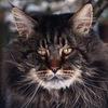 Мейн-кун. Питомник Lynx Shadow. Продажа котят